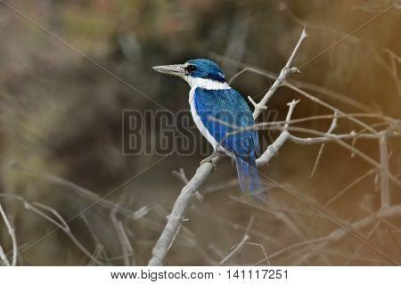 Collared kingfisher Todiramphus chloris Mangrove Birds of Thailand
