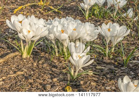 Many white crocuses on bark mulch outdoor