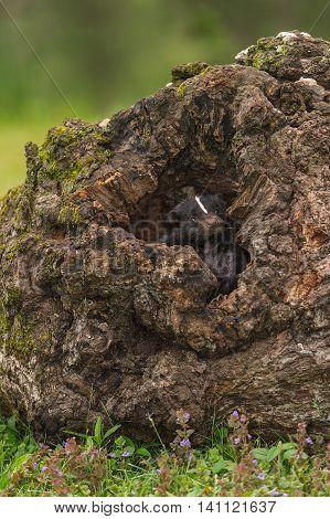 Striped Skunk (Mephitis mephitis) Peers Out - captive animal