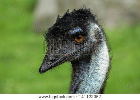 Emu head close up outside