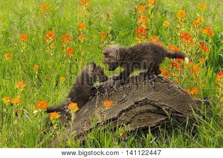 Two Red Fox (Vulpes vulpes) Kits Play Atop Log - captive animals