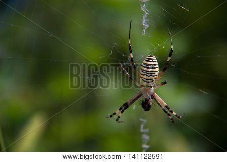 Wasp spider Argiope bruennichi on a web on a green background.