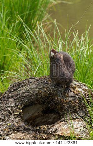 Adult American Mink (Neovison vison) Looks Up - captive animal