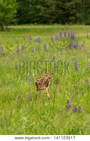 White-Tailed Deer Fawn (Odocoileus virginianus) Runs Right Through Lupin - captive animal