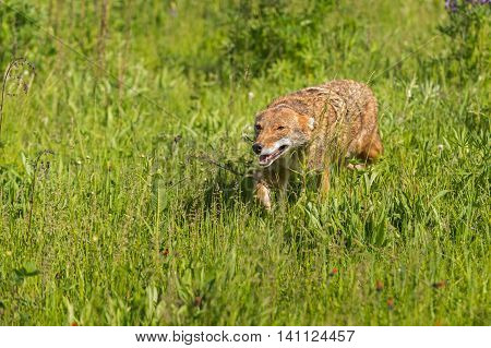 Coyote (Canis latrans) Runs Left in Field - captive animal