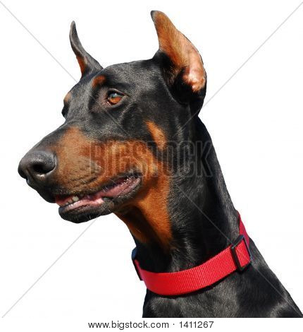 Detoured Doberman