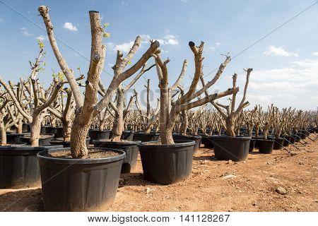 Trees in flowerpots for sale in the Spain