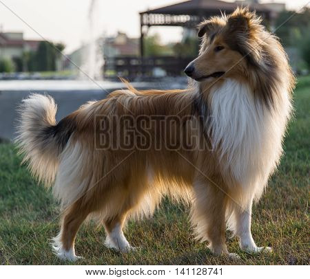 Collie dog in park starring aside in the afternoon