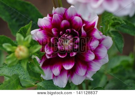 Close up Photo of Dahlia in garden