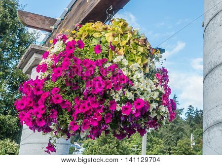 Pink and white petunias burst with vibrant color in a hanging basket.