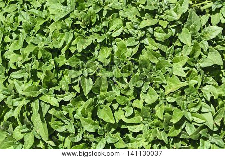 Green beautiful hedge formed by deciduous vegetation