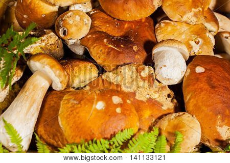 Big pile of fresh porcini mushrooms before cooking, decorated with green fern on a black background close-up