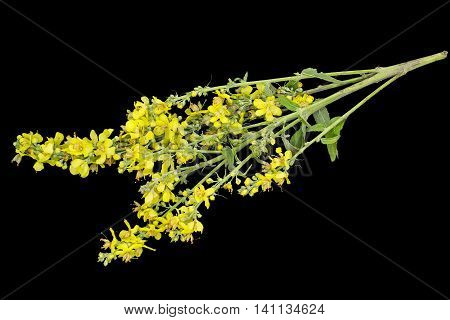 Mullein also known as velvet plant (Verbascum) isolated on a black background. Plant is highly valued in herbal medicine it is used in the form of infusions decoctions ointments oils