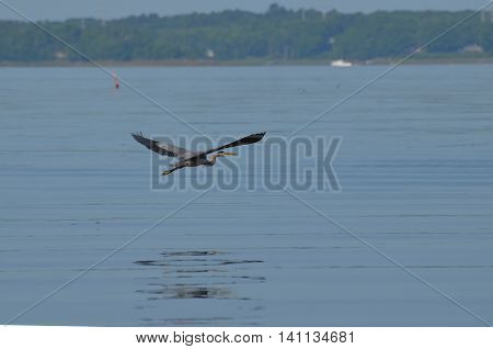 Great blue heron bird flying low over the ocean of Casco Bay in Maine.