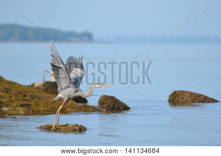Wings of great blue heron spead in flight.