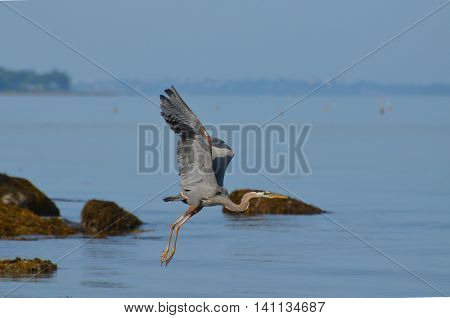 Gorgeous great blue heron flying over Casco Bay in Maine.