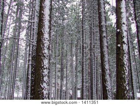Snowpinetrees