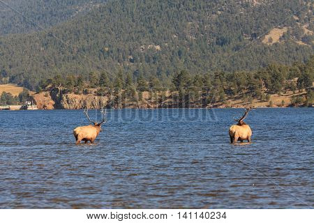 a pair of rutting bull elk cool off in a mountain lake