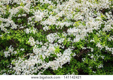 Flowers Of Lobularia Maritima Called Alyssum Maritimum.