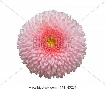Pink Marguerite Daisy Flower Isolated On White Background.