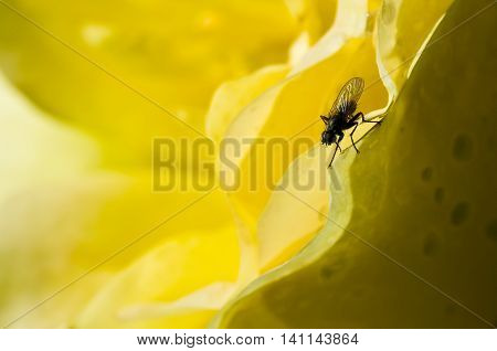 Fly Hiding in the Gentle Folds of the Delicate Yellow Rose
