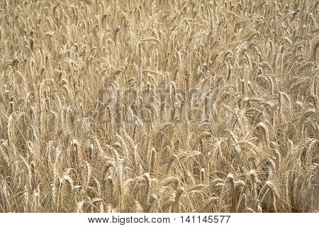 Wheat field background a summer day close up