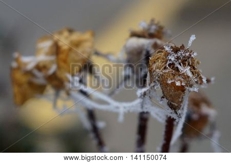 A withered flower covered with ice and snow