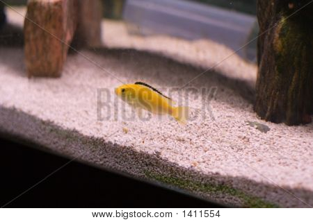 Yellow Cichlid African