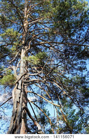 A large pine tree with long dry branches. Siberia.