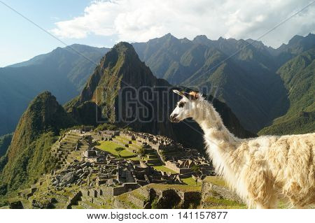 a llama and on the background the ruins of Machu Picchu Perú