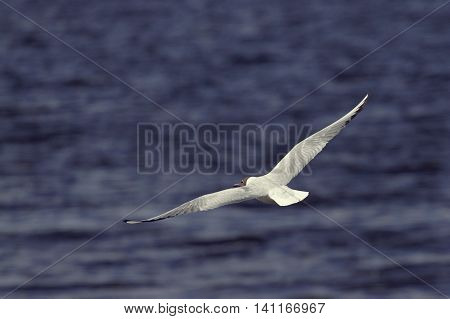 Sea gull against the backdrop of the waves