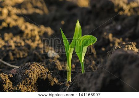 Maize seedling in agricultural garden Growing Young Green Corn Seedling