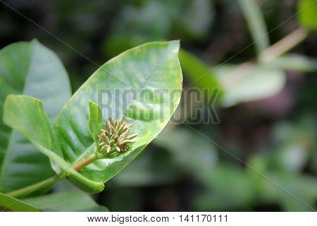 Close Up Young Ixora Flower