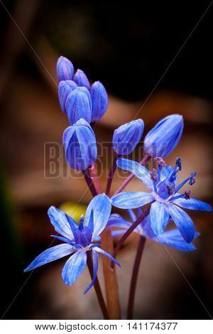 Abstract scilla bifolia wild flowers