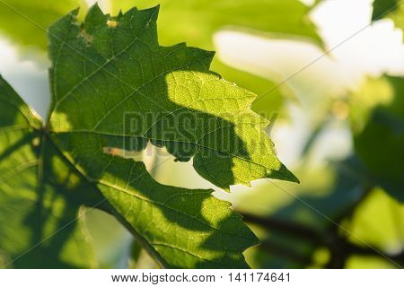 Vine Leaves With Morning Lights