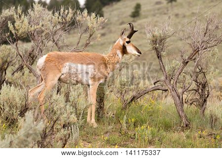 Adult Pronghorn Laying in Pasture Wild Animal Yellowstone