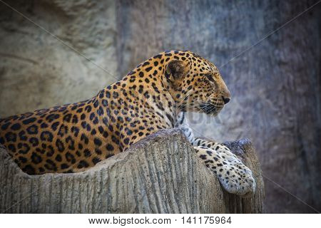 close up side view face of dangerous angry leopard lying on rock