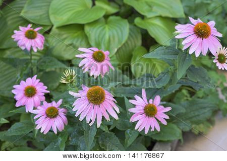 Beautiful Purple coneflowers closeup in garden in summer