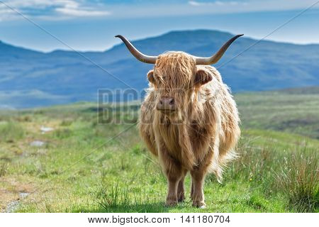 Scottish Highland Cow on Blurry Mountain Background