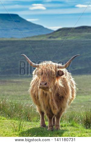 Scottish Highlander Cattle on Green Mountainous Pasture