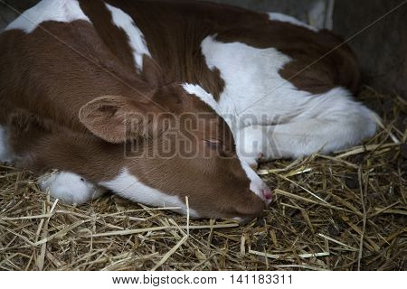 young brown or red calf sleeps in straw of barn