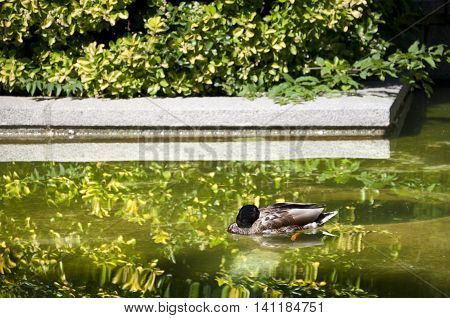 Duck sleeping on the water. Photo taken in Cecilio Rodriguez Gardens Retiro Park Madrid Spain.