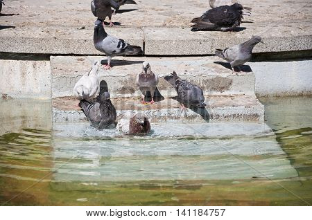 Pigeons drinking and bathing in a pond. Photo taken in Retiro Park Madrid Spain.