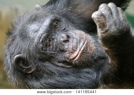 A lying and hairy female Chimpanzee portrait