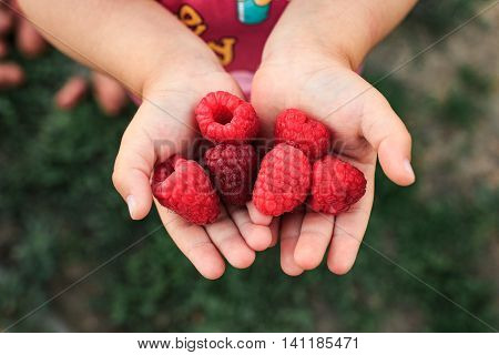 Ripe red raspberries in the girl hands. Raspberries in hands. Raspberries girl showing raspberries in closeup Healthy food and raspberry concept .