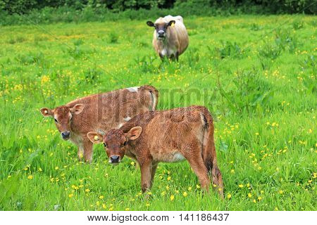 Cow and her calves standing in a field