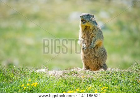 Marmot in the grass whistling to give alarm