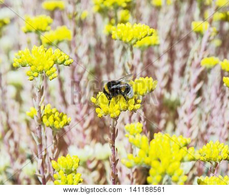 Bumble-bee and yellow sedum flowers. Detailed natural scene. Fauna and flora. Beauty in nature. Vibrant colors. Macro photo.