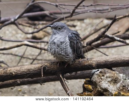 Common Cuckoo Cuculus canorus portrait on dry branch close-up selective focus shallow DOF