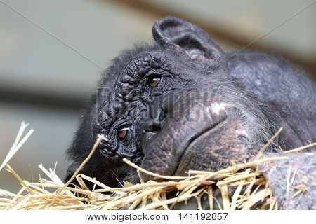 An older female Chimpanzee lying in hay